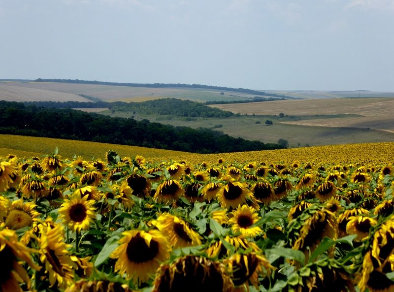 Sunflower fields stretching as far as the eye can see in Bulgaria