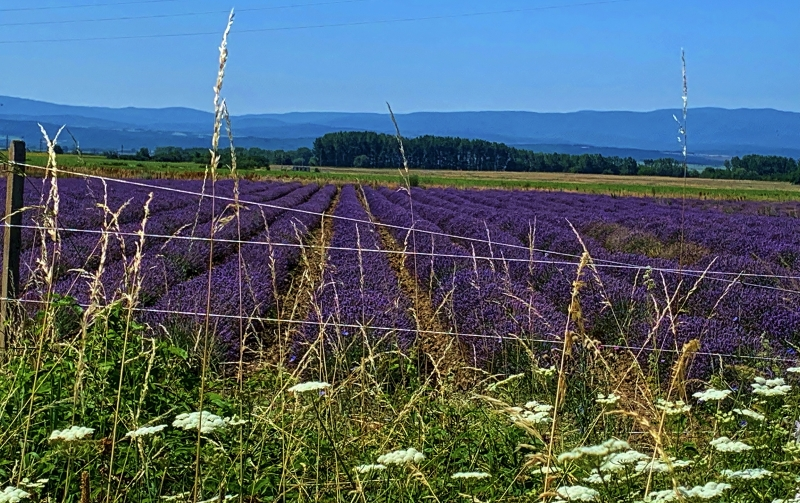 Lavender_fields_in_Bulgaria