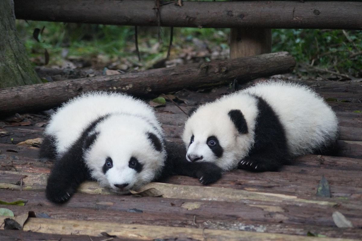 Chengdu, China: Research Base of Panda Breeding Centre