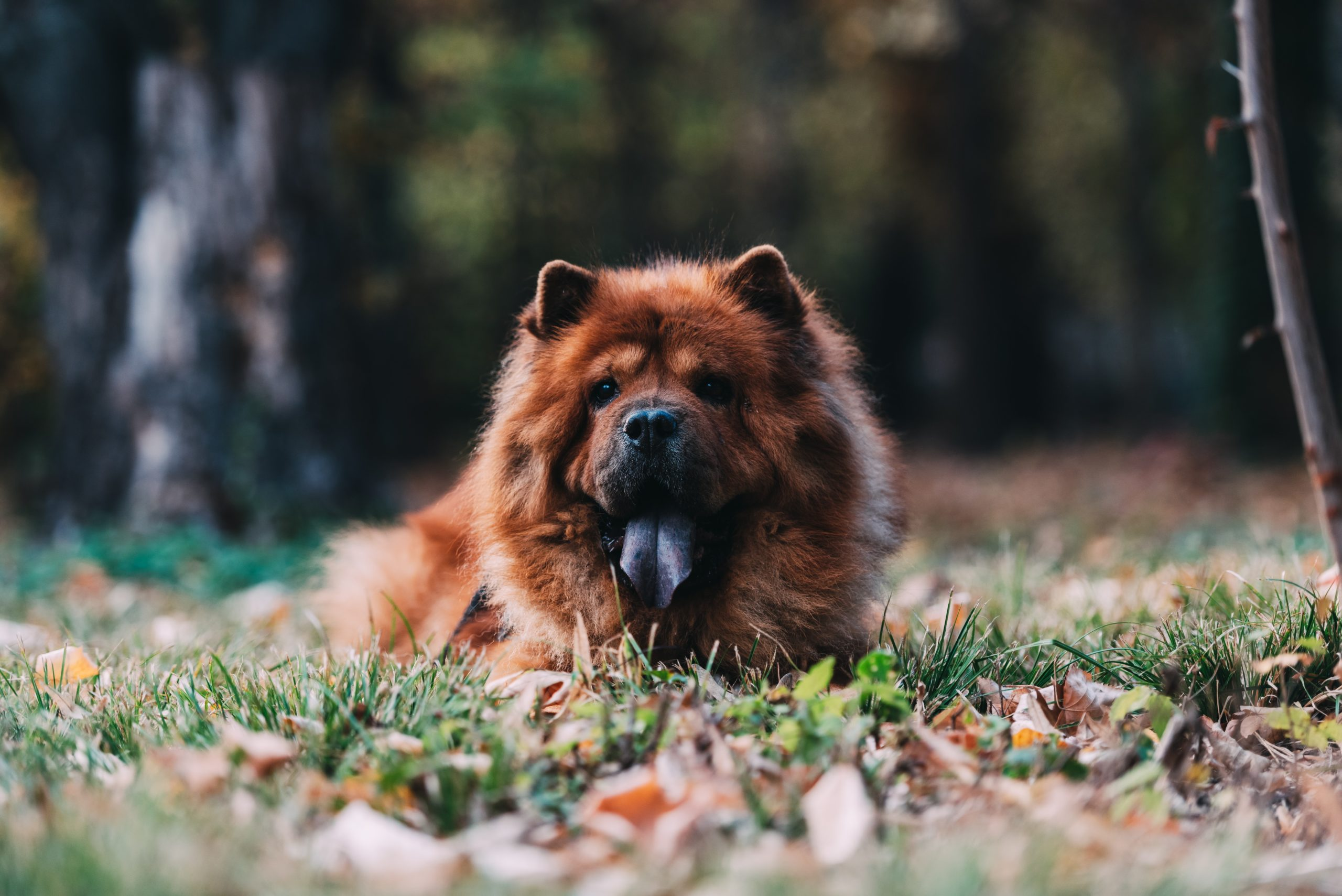 Uncovering The World's Most Expensive Dog Breeds